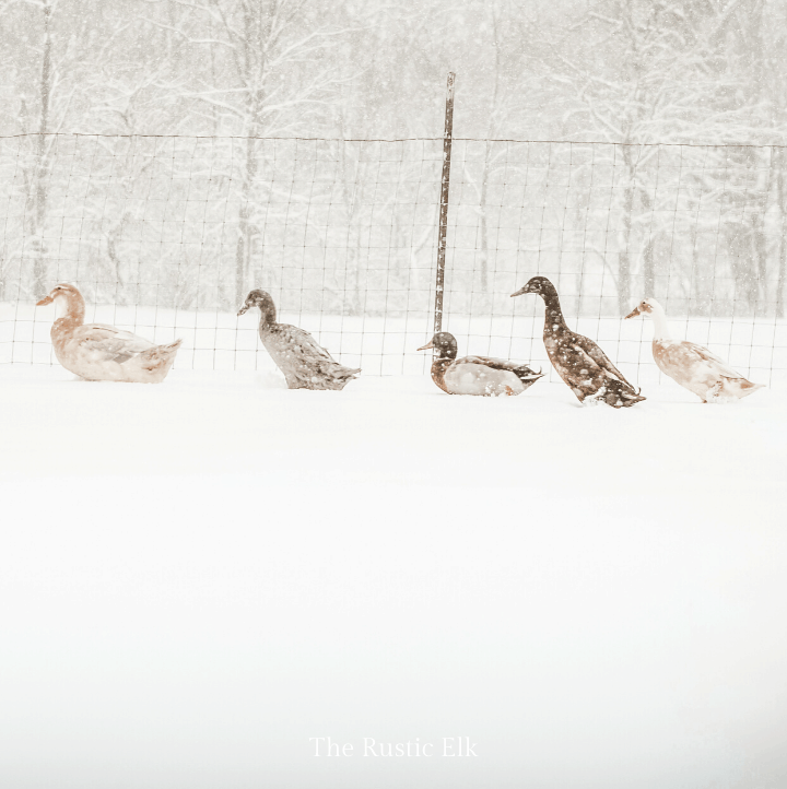 Several breeds of duck in the snow.