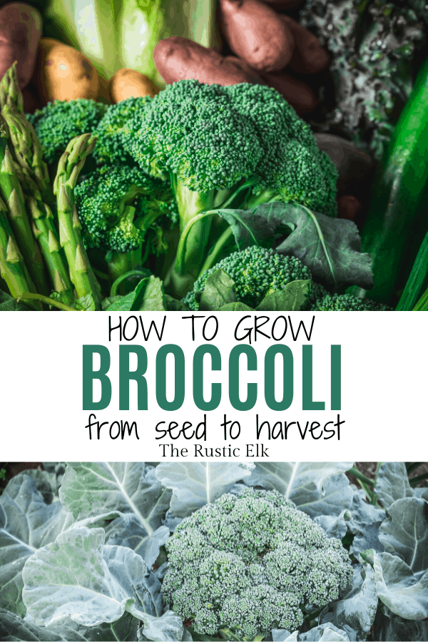 Growing broccoli from seed is easy.