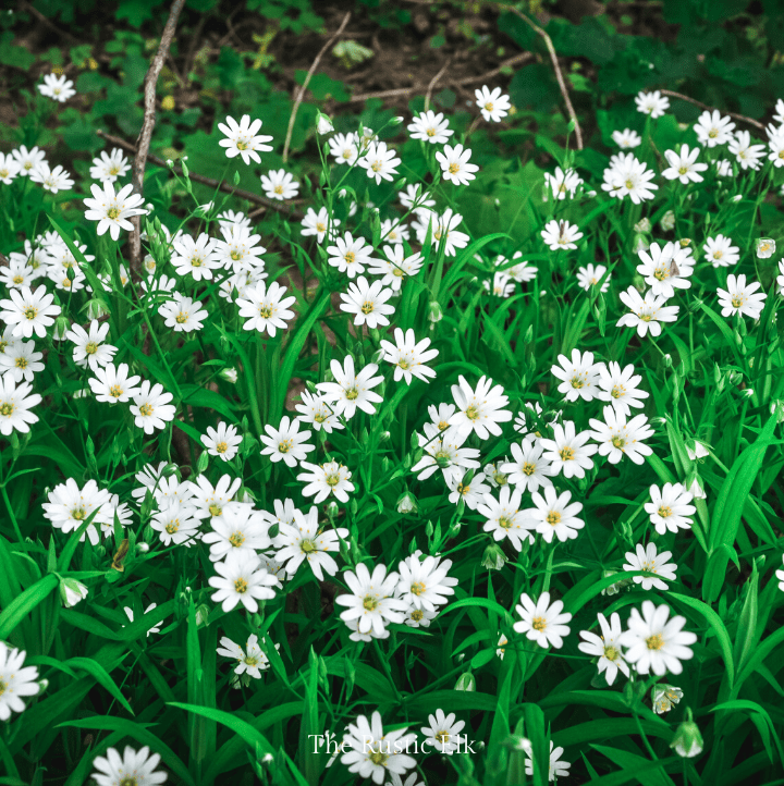 Chickweed is a common, edible weed.
