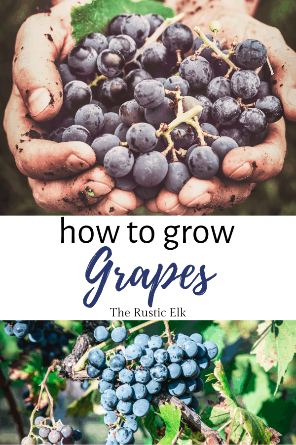 Growing grapes for wine.