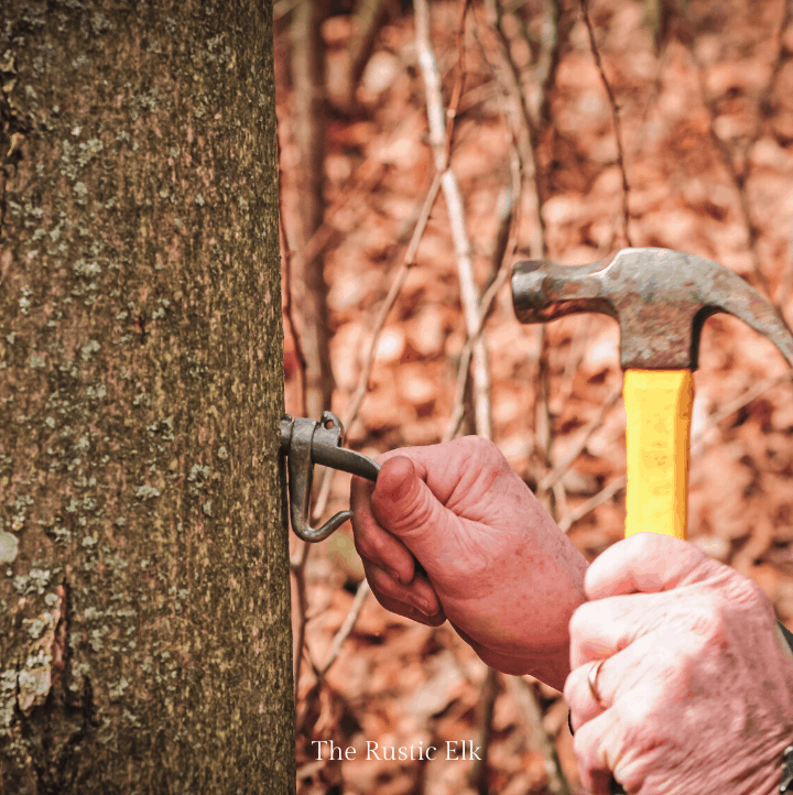 Hammer spile into place to tap a tree for sap.