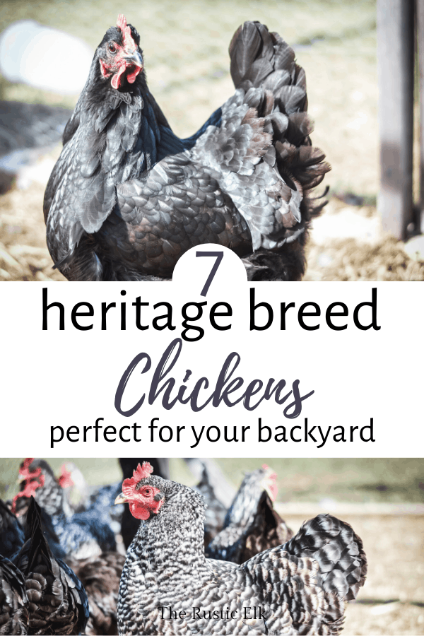 Heritage breed chickens are perfect for small farms.