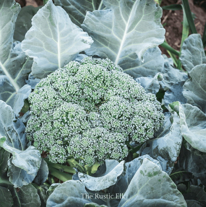 Learning how to grow broccoli can increase food self sufficiency.