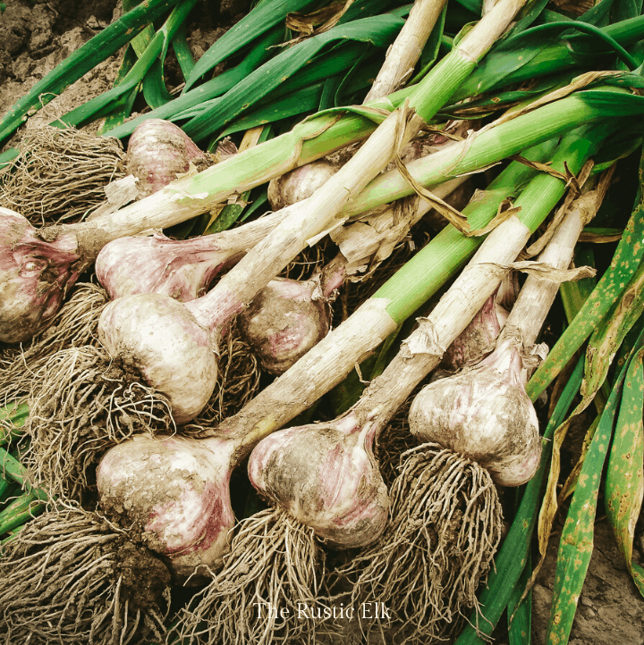 Learning how to grow garlic to get amazing bulbs like these.