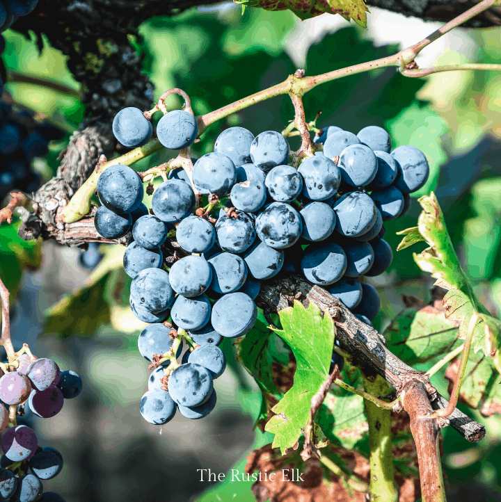 Grapes have been cultivated for thousands of years. Learn how to grow grapes.