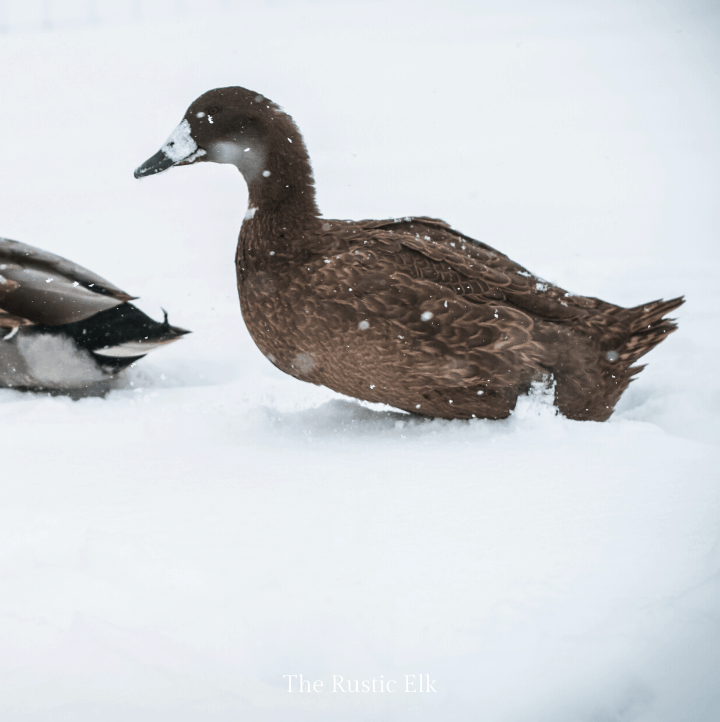 Khaki campbell duck in the snow.