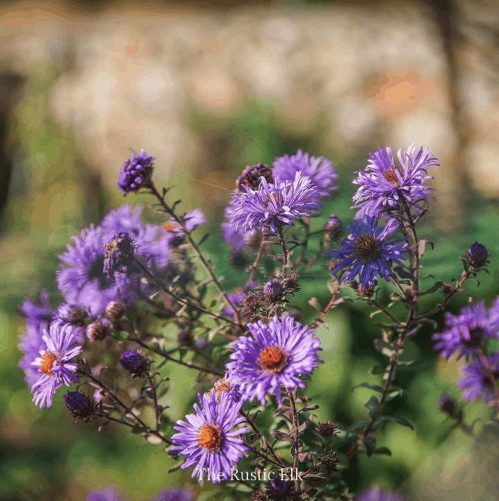 New England asters are a beautiful, edible weed.