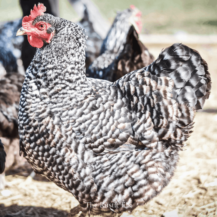 Photo of a heritage breed barred plymouth rock chicken.