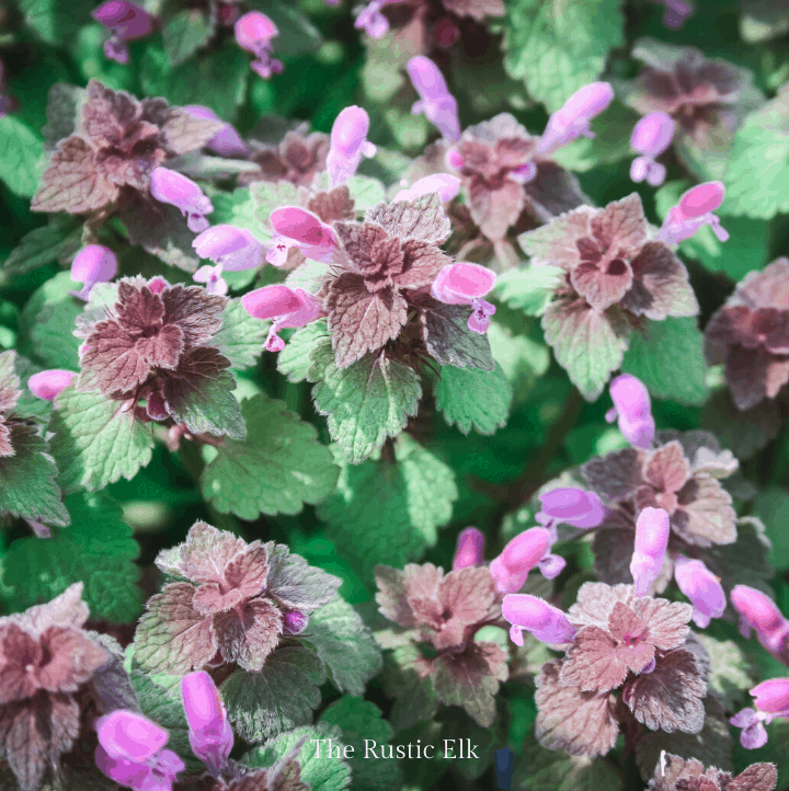 Purple dead nettle doesn't sting like stinging nettle and can be eaten.