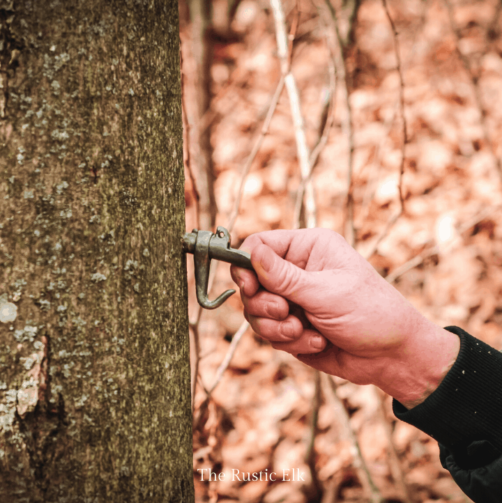 Push spile into maple tree to tap it for sap.