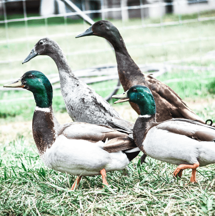 Ducks are an excellent addition to the backyard poultry keeper.