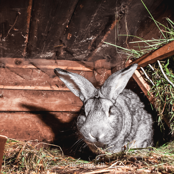 Silver fox meat rabbit in a hutch. Raising meat rabbits can provide your family with an inexpensive source of homegrown meat.