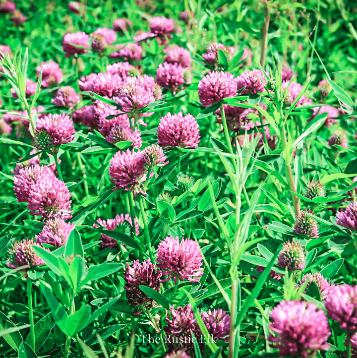 Red clover (and white clover) are both edible weeds that are also a great lawn replacement.