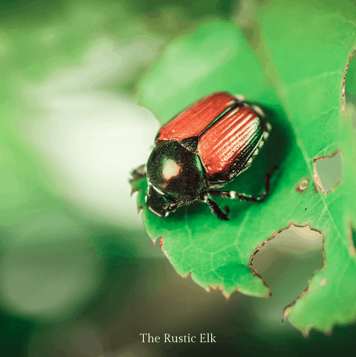 Japanese beetles can be repelled from your garden.