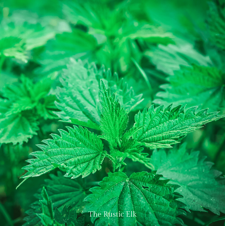 While it must be handled carefully (with gloves), once cooked, stinging nettle can be eaten.