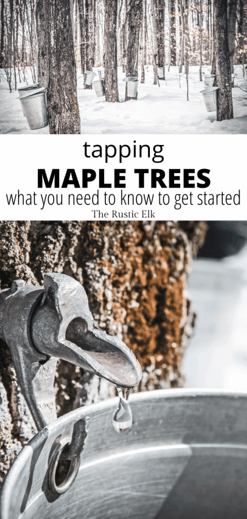 Tapping maple trees for sap can be a rewarding experience.
