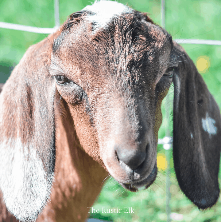 Miniature nubian dairy goat. There are a few things you should know before adding dairy goats to your farm.