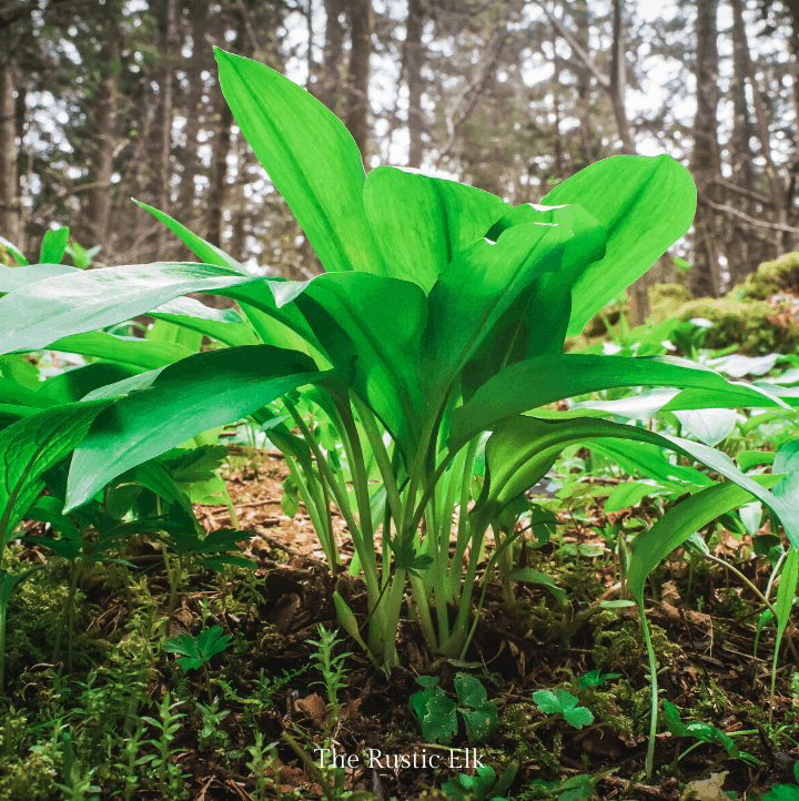 Wild garlic is completely edible and grows readily in lots of places.