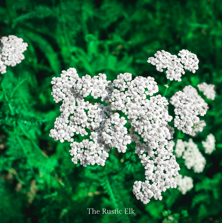 Yarrow is a common herb, but also known as a weed when it grows wild.