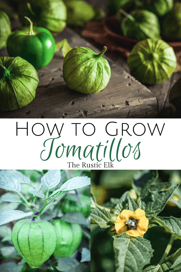 Tomatillos are easy for beginning gardeners to grow.