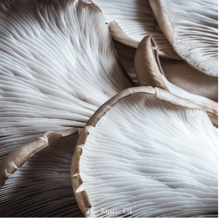 A photo of the underside of oyster mushrooms showing the decurrent gills that easily identify them.