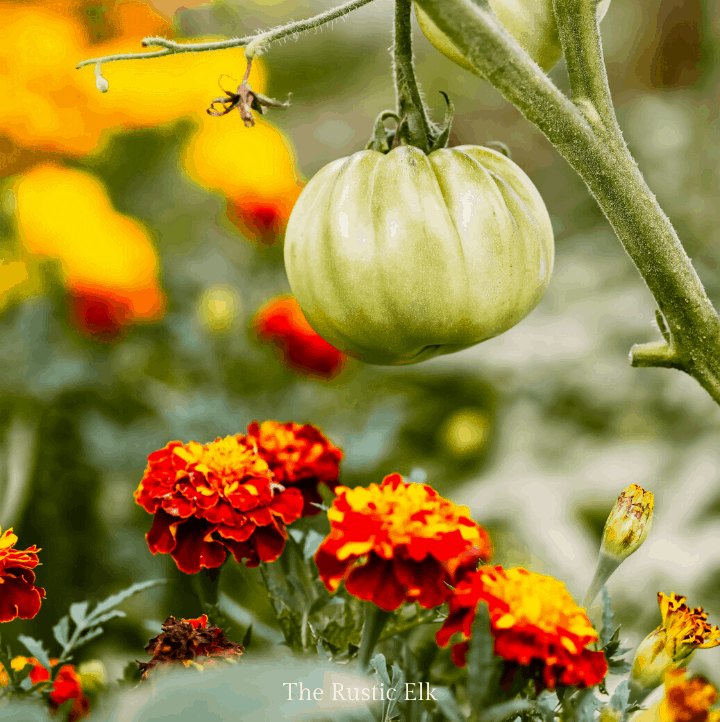 Companion planting marigolds and tomatoes helps repel pests.